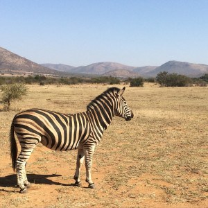 Zebra on Pilanesburg Safari in Johannesburg